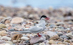 Arctic Tern 19-May-19 M_003 (gomo.images) Tags: 2019 artictern bird country moray nature scotland speybay years