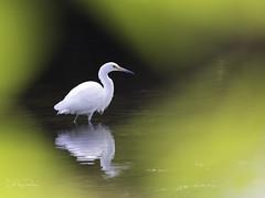 Snowy Egret (Lisa Roeder) Tags: snowyegret egret birds nature wildlife wildlifephotography naturephotography dailyrayofhope
