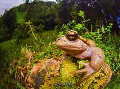 Alsodes sp. (pedrographer) Tags: nature cochamo alsodes amphibia widemacro conservation lajunta cochamovalley frog anura