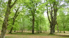 New Forest NP, Hampshire, UK (east med wanderer) Tags: england uk hampshire lyndhurst newforestnationalpark spring trees woodland forest oak beech