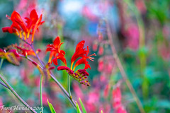 DSC_2419 (farajalhattab) Tags: micro nikon d7200 sigma 105 garden nature oregon flowers red pink green colorful