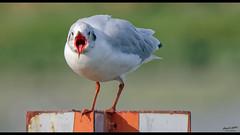 I'm Smiiilllliiiiiiinnng ! (Alexandre LAVIGNE) Tags: baiedesomme borddemer format1851 hdpentaxdfa150450mm pentaxk1 2019 eté ambiance bird expression funny intriguée juvénile k1 lumière mouette nature oiseau lecrotoy somme france