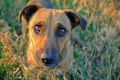 Dog. (denkuznets81) Tags: dog pet pets grass golden green look sight eyes sunset summer animal собака животные взгляд глаза трава закат лето