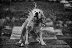 7-12 Bruno: shaken not stirred (Dave (www.thePhotonWhisperer.com)) Tags: dog bruno 12monthsforbruno 12monthsfordogs goldenretriever golden water wet shake shaking