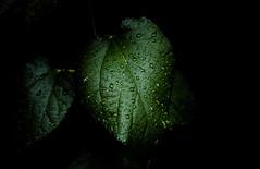 A Weed In Our Yard (Bernie Emmons) Tags: wildflower weeds plants vines
