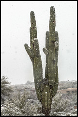 Tucson Snow #3 2019; Saguaro in the Snow (hamsiksa) Tags: winter february desert sonorandesert arizona tucson pimacounty catalinafoothills snow snowinthedesert plants flora desertplants plantsofthesonorandesert xerophytes succulents cacti cactus cactaceae saguaros carnigeagigantea