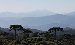 Pico dos Marins e araucárias (Vinicius Montgomery - Itajubá-MG - Brazil) Tags: mountains moun montgomery vinícius prof piranguçu da serra mantiqueira de minas sul gerais brazil dos pico marins araucária