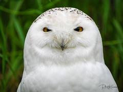 Snow Owl Calgary Zoo lens test Leica DG  100-400mm -.jpg (Phil Kinsman (Olwebhound)) Tags: snowyowl calgaryzoo lenstest