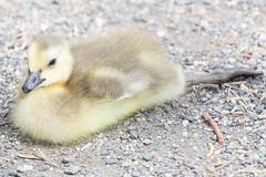 Goslings 5 (fine_plan) Tags: canadagoose goose gosling