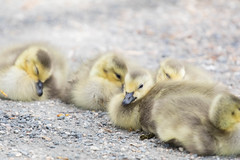 Goslings 3 (fine_plan) Tags: canadagoose goose gosling