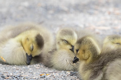 Goslings 1 (fine_plan) Tags: canadagoose goose gosling