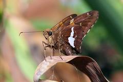 Silver spotted Skipper Butterfly (Jim Atkins Sr) Tags: silverspottedskipper epargyreusclarus dottylergardens tryonpalace northcarolina newbern olympus olympuspenepm2 skipper butterfly