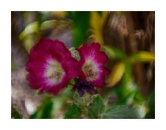 I can't see clearly now (BeMo52) Tags: alcearosea art bokeh closeup2 commonhollyhock flora garten macro makro natur nature olympusm40150mmf4056r stockrose weitwinkelkonverter045x