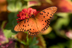 Garden delight (Irina1010) Tags: butterfly insect orange flowers bokeh macro garden nature canon coth5 outstandingromanianphotographers tearful ngc npc