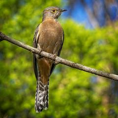 fan-taied cuckoo (Fat Burns ☮) Tags: fantailedcuckoocacomantis flabelliformisbirdaustralian birdfaunaaustralian faunawildlifeaustralian wildlifecuckooaustralian cuckoonikon 200500mm f56e ed vrnikon d500oxley creek common brisbane queensland australia
