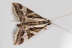 Geometrid? (no) Crambid (zosterops) Tags: australia queensland daintree macro insecta canoneos6d lepidoptera crambidae agrioglyptaexcelsalis