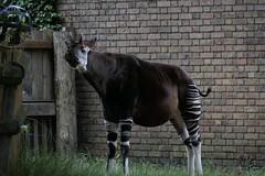 Okapi! (eyair) Tags: okapi