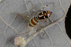 Surely the last of these.... (zosterops) Tags: australia queensland daintree macro canoneos6d cosmophasismicarioides salticidae arachnida