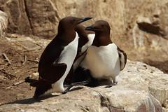 guillemot (jon lees) Tags: commonguillemot uriaaalge auk bird farne island england