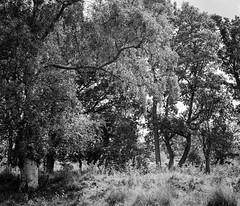 Along the side of the brook, Strensall Common (jhotopf) Tags: blackwhite northyorkshire strensallcommon hasselblad 120 digitalizer pmkpyro panchromatic400 bergger lomography