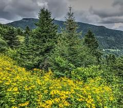 Mt. Mitchell (esywlkr) Tags: mountains wildflowers forest trees mtmitchell mtmitchellstatepark nc northcarolina