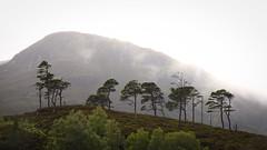 A line of pines (prajpix) Tags: pines pinewood wood woods forest trees hill mountain rain cloud sky mist birch nature natural native heather ancient caledonian glen valley mullardoch highlands scotland invernesshire landscape