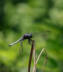 Libellula 2. Dragonfly (giuselogra) Tags: naturepics naturephoto naturephotography nature libellula insects insetti piedmont piemonte italy italia dragonfly