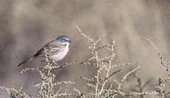 Sparrow in the saltbush (Photosuze) Tags: sparrows birds avians aves bellssparrow perching nature wildlife animals