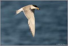 Twofer 8604 (maguire33@verizon.net) Tags: bif bolsachica bolsachicaecologicalreserve forsterstern sternaforsteri bird fish fishing tern twofer wetlands wildlife