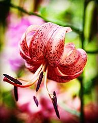And another lily. #Summer #vacation #maine #acadia #nps #findyourpark #nationalpark #thuya #garden #neharbor #canon #realcamera #rebelxs #efs60mm #macro #flowers #Canon #EFS60mm #macro  #flower #flowersofinstagram (Kindle Girl) Tags: flowers summer vacation maine acadia nps findyourpark nationalpark thuya garden neharbor canon realcamera rebelxs efs60mm macro flower flowersofinstagram