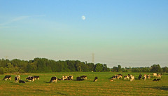 Cows under the moon (Larry the Biker) Tags: cows livestock bovine pasture moon country rural ruralamerica ag agriculture farm farming brucetownship michigan