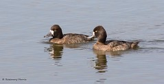 Lesser Scaup Females in Explore. (rosemaryharrisnaturephotography) Tags: lesserscaupfemales lesserscaup scaup ducks florida pond water pair pairducks rosemaryharris canoneos7dmark11 canonef400mmf56seriesllens blue widlife nature coth alittlebeauty coth5 ngc