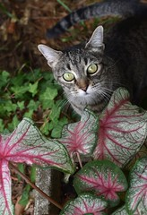 Camille with Caladium (rootcrop54) Tags: camille female mackerel tabby cat striped caladium redveins neko macska kedi 猫 kočka kissa γάτα köttur kucing gatto 고양이 kaķis katė katt katze katzen kot кошка mačka gatos maček kitteh chat ネコ garden explore eyes