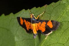 Aethaloessa calidalis (zosterops) Tags: australia queensland daintree macro insecta canoneos6d lepidoptera crambidae aethaloessacalidalis