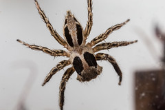 Plexippus (zosterops) Tags: australia queensland daintree macro insecta canoneos6d arachnida salticidae plexippus