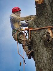 Cutting Down a Tree (btusdin) Tags: chainsaw oaktree sawdust