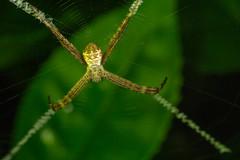 St Andrew's Cross Spider (zosterops) Tags: australia queensland daintree macro canoneos6d argiope arachnida