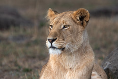 Looking into the Distance (Xenedis) Tags: africa afrika animal bigcat bigfive cat chelipride eastafrica gamedrive kenya lion lioness maasaimara maranorthconservancy narokcounty pantheraleo republicofkenya riftvalley safari simba wildlife