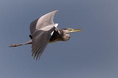 Graureiher 19002 (bertheeb) Tags: graureiher reiher vogel nikon d850 500mmvr