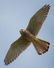 Turmfalke 19010 (bertheeb) Tags: turmfalke falke greifvogel nikon d850 500mmvr