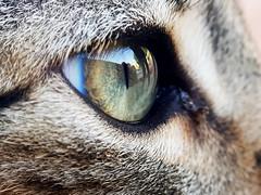 EYE OF THE LITTLE TIGER (Survivor) (Pedro Muñoz Sánchez) Tags: macro eye cat macrofotografía macrophotography ojo ojos gato