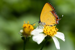 Nature. (蒼白的路易斯) Tags: marco nature butterfly sigma105mmf28exdgmarcooshsm canoneos77d canon