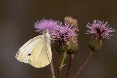 Papillon (clamar18) Tags: butterffly blanc insecte flower nature pieride mérysurcher canal
