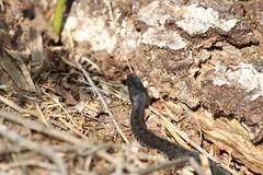 Melanistic Adder. (ChristianMoss) Tags: vipera berus snake adder black reptile melanistic