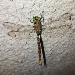 Aeschne paisible (pcaze81) Tags: ariège occitanie libellule anisoptères aeschnidae boyeria dragonfly odonate domainedesoiseaux boyeriairene samsunggalaxys7 aeschnepaisible
