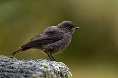 Rougequeue noir Juvenille (Glc PHOTOs) Tags: glc5729dxo rougequeue noir d850 nikon tamron 150600 g2 tc14