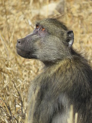 If we could only have a few drops of rain... ( Baboon / Bobbejaan ) (Pixi2011) Tags: baboons krugernationalpark southafrica africa wildlife wildlifeafrica nature portraits
