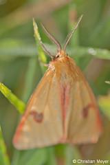 2013.08.19 - 7946 - Ecaille roussette Séné © (chmeyer51) Tags: insecte papillon ecailleroussette bordureensanglantée lépidoptère arctiidae arctiinae diacrisiasannio