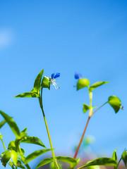 Asiatic dayflower (Yorkey&Rin) Tags: 2019 asiaticdayflower bluesky em5markii japan july kawasaki neighborhood olympus olympusm60mmf28macro p7270011 rin ツユクサ 七月 青空 梅雨の晴れ間 近所の空き地