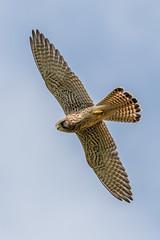 Turmfalke (wsprecher) Tags: turmfalke falco tinnunculus falken vögel wildlife